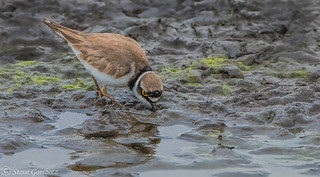 Little Ringed Plover feeding in the mud.