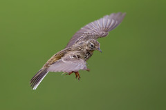 Meadow Pipit (Simon Stobart) Tags: meadow pipit anthus pratensis flight flying hovering northeastengland ngc npc