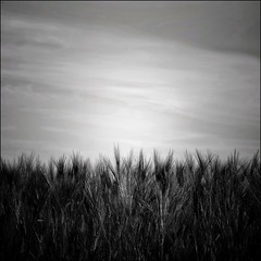 Les blés (Nadège Gascon) Tags: light contrast 6x6 xt1 fuji monochrome wildlife ngphotographe charente landscape paysage nature blé