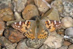 IMG_0635 Painted Lady (Cliff Buckton) Tags: paintedlady