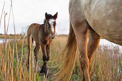Scène de Camargue 10 (Xtian du Gard) Tags: foal poulain horse cheval camargue goldenhour digiart animal xtiandugard