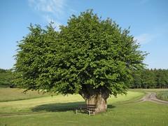 Hainbuche (nordelch61) Tags: odenwald wald forest baum bäume buche hainbuche tree ast äste zweig zweige stamm blatt blätter uralt knorrig gespalten