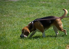 The Scent Trail (swong95765) Tags: smell sniff scent nost dog canine animal pet grass smells leash lawn