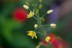 Bulbine - Yellow Flower