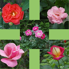 """""""Monday"""" Roses ... Happy new week !! ◔‿◔ (ljucsu) Tags: flowers roses flowersmacro mayroses mayflowers plant outdoor gardenflowers gardenroses collage rosescollage ngc npc"""