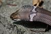 Cobra Hood 2 (Bob Hawley) Tags: asia taiwan metropolitanpark kaohsiung nikond7100 nikon70210mmf456d outdoors nature wildlife creatures reptiles herpetology poisonous venomous najaatra chinesecobra snakes ditches drains hoods skin scales