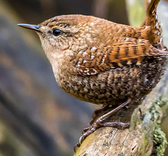 Winter Wren (d.gale052) Tags: 2017 april bird outdoors small thicksonwoods whitby wild winterwren