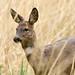 Roe deer (castling2013) Tags:
