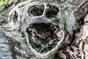 Forest Spirit (Alexey Mikheykin) Tags: nikon kit 1855 forest wood stump face scary scream closeup d3300