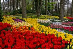 Spring all around (marypink) Tags: parcokeukenhof olanda thenetherlands holland flowers tulips spring primavera lisse bollenstreek nikond7200 nikkor1635mmf40