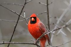 Northern Cardinal (Peter Simpson) Tags: northerncardinal mud lake ottawa canon f4