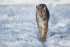 Eyes on Target (The Wasp Factory) Tags: eurasianlynx lynx eurasischerluchs nordluchs luchs lynxlynx snow schnee winter tierparksababurg tierpark sababurg wildpark wildlifepark