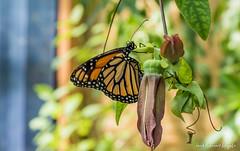 JM foto75-128 (janetankersmit) Tags: 2017 vlinders vlindertuin zutphen