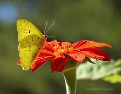 Sulphur Butterfly sipping nectar (AngelVibePhotography) Tags: nikonp900 northcarolina outdoor nikon blossom closeup arthropods blossoms colorful insects petals butterflies outdoors spring garden butterfly nature springtime photography animal yellow insect macro sulphurbutterfly orange brightcolors wildlife depthoffield flowers