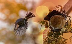 Meise im Abflug (Delbrücker) Tags: tier animal vogel bird meise natur nature outdoor bokeh nikond610 nikkor 70200mm 28