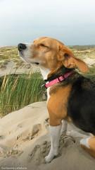 Un souffle d'air (Guillaume7762) Tags: beagle plage mer dune oyat beach chien dog air iodé vent sable sea breeze hund strand sanddüne luft