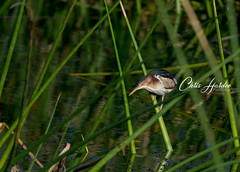 Least Bittern (Chris Hardee Photography) Tags: bittern least elusive nature outdoor cool
