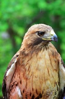 Red-tailed hawk (Buteo jamaicensis) _DSC0129