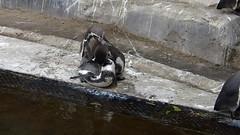 Amours de manchots (Raymonde Contensous) Tags: manchotsdehumboldt oiseaux parczoologiquedeparis zoodevincennes pzp mnhn biozonepatagonie