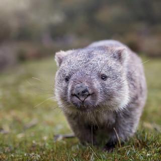 Cradle Mountain Wombat