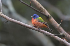 Passerin nonpareil / Painted Bunting (fpoet_63) Tags: painted bunting quebec rare bird
