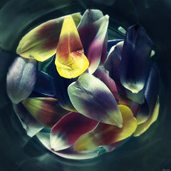 Existence (░S░i░l░a░n░d░i░) Tags: flower nature plant square color red renateeichert resilu rumi sufism dervish mevlana جلالالدینمحمدرومی white spring tulip photo yellow blue magenta pink water petal may purple circle vase 2017 dschalāladdīnarrūmī maulānā dschalaladdinmuhammadrumi vermillion aquamarine black