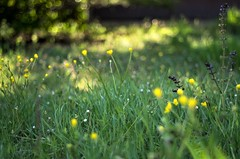 meadow impression (ΞSSΞ®®Ξ) Tags: ξssξ®®ξ pentax k5 colors bokeh smcpentaxm50mmf17 italy spring 2017 plant outdoor depthoffield blossom purple green light fabriano appennini nature flowers meadow buttercups grass pov perspective dof marche