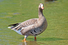 Greater White-fronted Goose (Explored May 13, 2017) 17-0507-4954 (digitalmarbles) Tags: greaterwhitefrontedgoose goose greater whitefronted waterfowl anseralbifrons water shadow nature wildlife animal bird birder birdphoto birdphotography wildlifephotography reifel sanctuary reifelsanctuary deltabc lowermainland bc britishcolumbia canada canoneosrebelt5 canon explored