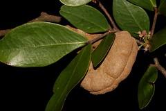 Cynometra iripa (andreas lambrianides) Tags: cynometrairipa wrinklepodmangrove australianflora australiannativeplants australianrainforests australianrainforestplants ntrfp cyrfp qrfp arfp arffs riparianarf brownarffs leguminosae fabales