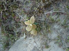 Holm Oak (Quercus ilex) - seedling (sianmatthews25) Tags: hastings holmoak tq8209 westhill seedling