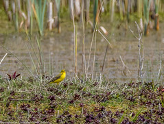 9Q6A5402 (2) (Alinbidford) Tags: alinbidford alancurtis brandonmarsh greyheron greylaggoose snipe moorhen yellowwagtail