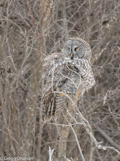 Great Grey Owl 53