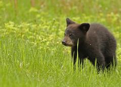 Black Bear cub...#9 (explore on May 17, 2017) (Guy Lichter Photography - 3.4M views Thank you) Tags: canon 5d3 canada manitoba rmnp wildlife animals mammal mammals bear bears blackbear cub explore