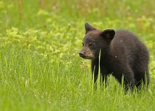 Black Bear cub...#9 (explore on May 17, 2017)