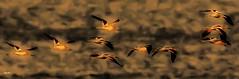 Avocets (beachpeepsrus) Tags: beach birds water westcoast color