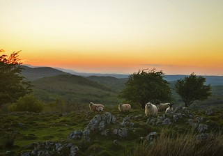 Sheep in a Fermanagh sunset.