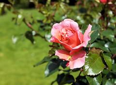 paris-154 (gabriel_flr) Tags: paris france seine ladéfense toureiffel bateaux grandearche gabrielflr gabrielflorea blueskies puteaux courbevoie macron investitureduprésident notredame rose roses rosen trandafiri trandafir blooms blumen fleures rosa