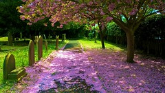 April Snow (baxter.ad) Tags: april blossom england sussex worthing landscape trees pink cherry petals