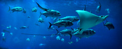 OCEAN VOYAGER (EXPLORED) (Wolf Creek Carl) Tags: rays fish blue water sealife georgia georgiaaquarium ocean oceanvoyager animals atlanta