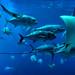 OCEAN VOYAGER (Wolf Creek Carl) Tags: rays fish blue water sealife georgia georgiaaquarium ocean oceanvoyager animals atlanta