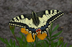 Swallowtail - Koninginnepage (joeke pieters) Tags: 1340351 panasonicdmcfz150 koninginnepage oldworldswallowtail papiliomachaon vlinder schwalbenschwanz commonyellowswallowtail swallowtail machaon grandportequeue butterfly insect wildlife specanimal platinumheartaward