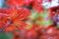 Firing Red Maple Leaves (JPShen) Tags: leaves leaf maple red fire firing bokeh garden pring new