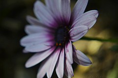 springless (Love me tender ♪¸.•*´¨´¨*•.♪¸.•*´) Tags: dimitrakirgiannaki photography greece greek nikond3100 flowers spring 2017 bokeh blur macro closeup nature ευρωπη ευβοια ελλαδα ταξιαρχησ colors purple