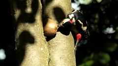 Special breakfast (carlo612001) Tags: woodpecker picchio picchiorossomaggiore red kiwi breakfast colazione natura nature tree albero alberi bosco wood forest