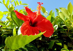 Bright (Khaled M. K. HEGAZY) Tags: nikon coolpix p520 rassedr egypt nature outdoor closeup macro hibiscus stamen pistil plant flower petal leaf leaves foliage garden red green yellow blue