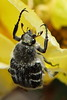 IMG_8055 (Vox Sciurorum) Tags: insect beetle scarabbeetle trichiotinus wichitamountainsnationalwildliferefuge oklahoma canon100