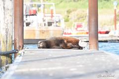 21:52 Dear Sea Lion (Claudia Künkel) Tags: oregon male dock goldbeach harbor sleeping californiasealion