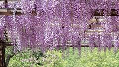 藤 -wisteria- (S.Eugene-Design) Tags: 藤 wisteria welcome steadfast 枕草子 優しさ 佳客 歓迎 紫 purple japan may