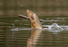 flycatcher (hardy-gjK) Tags: fish fisch fliege fly water hardy nikon snapshot schnappschuss