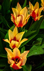 Beautiful Bicolor Tulips (http://fineartamerica.com/profiles/robert-bales.ht) Tags: easternidaho emmett flowers forupload gemcounty haybales idaho people photo places plants projects states tulips perennial bulbous bulb flower red green black tulipa liliaceae stamens filaments tulipdisambiguation bouquet pedals flowerphotography blossom beauty plant nature stem romance petal floral romantic valentine spring tulipagreetingcards wow stupendous superb tranquil tulipagesneriana robertbales iphone love beautiful pink closeup bud botany anniversary flowerhead florescence elegant calla greetingcards